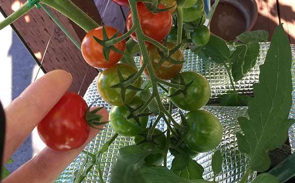 水耕栽培、食べられるグリーンカーテンがいいな