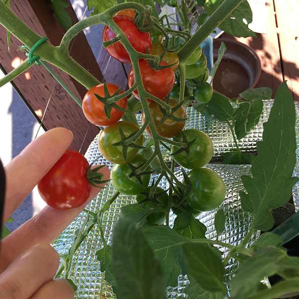 水耕栽培ミニトマトの収穫