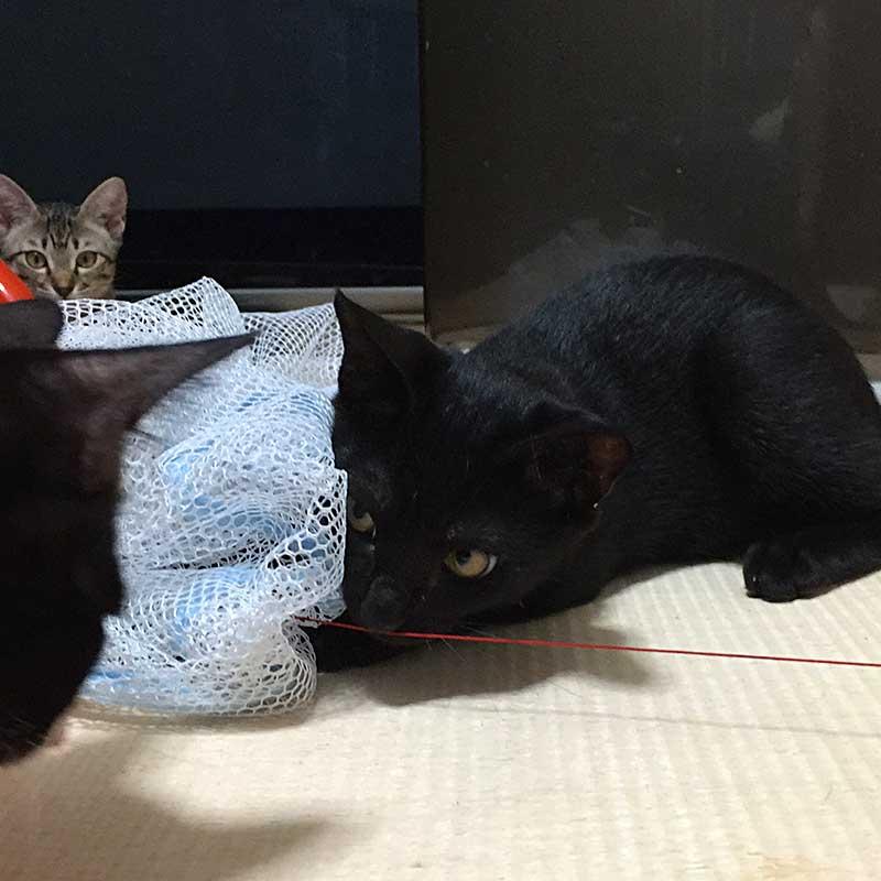 洗濯ネットで遊ぶ子猫