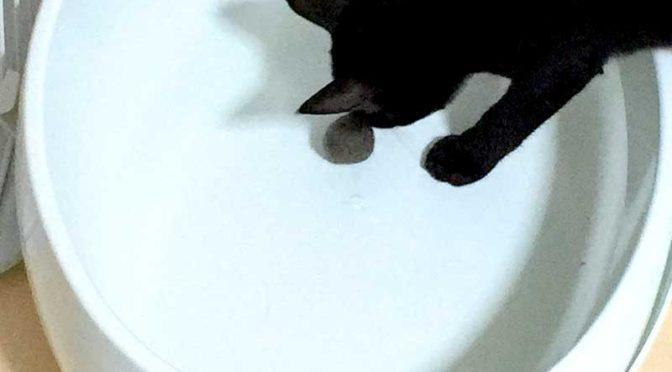 先住猫の匂い慣れレッスン(野良猫母子、家猫化計画その19)
