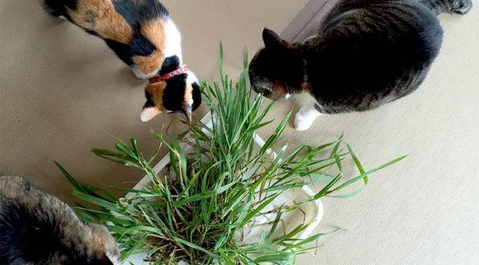 畳の上で草を食べる3匹の猫