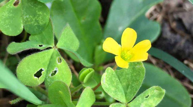 カタバミの黄色い花