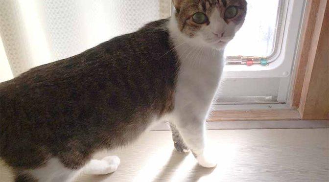 猫ドアの前で振り向くキジ猫