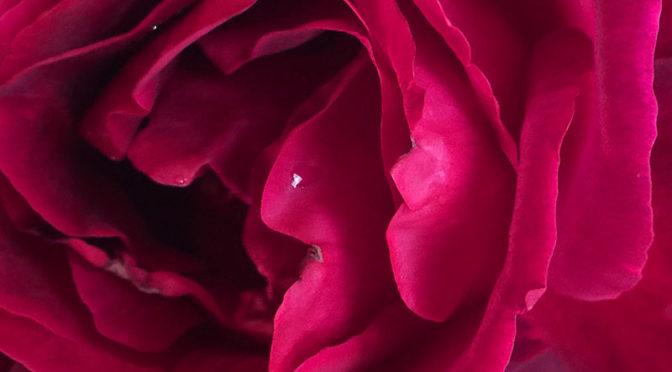血色のバラ:ミスターリンカーン(Mister Lincoln)
