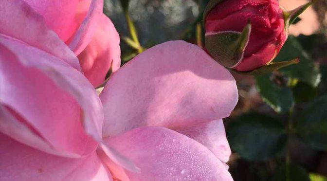 ピンクのバラの蕾(Home&Garden)