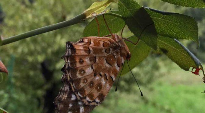 バラの葉にとまる茶色い蝶(多分ツマグロヒョウモン)