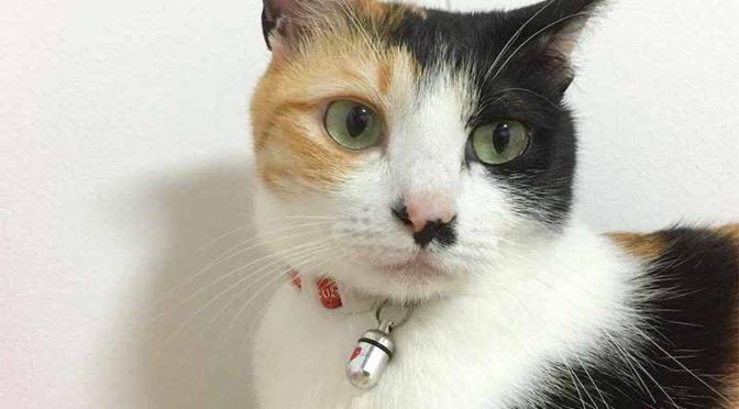白い壁の前の三毛猫(mikeneko)