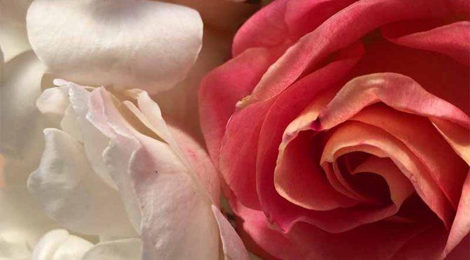 1月、咲き残りの薔薇