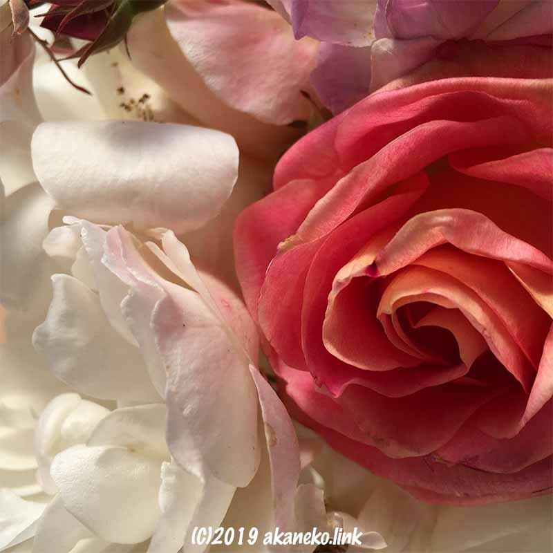 寒さで少し傷んだバラの花