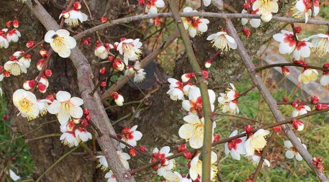 裏庭の白梅、花盛りなのである