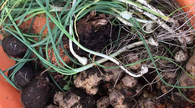野蒜とキクイモ:早春の庭の味覚