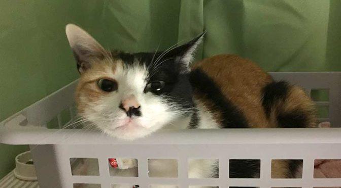 ダイソーの積み重ねできる収納バスケットの中からこちらを見る三毛猫