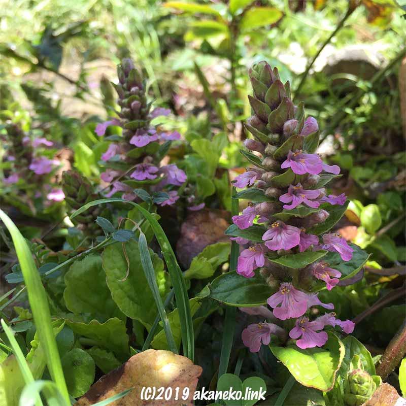 アシュガのピンクエルフの花