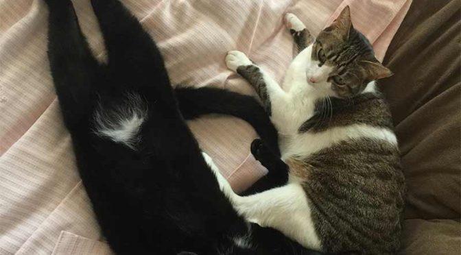 キジ白猫と白パンツを履いた黒猫