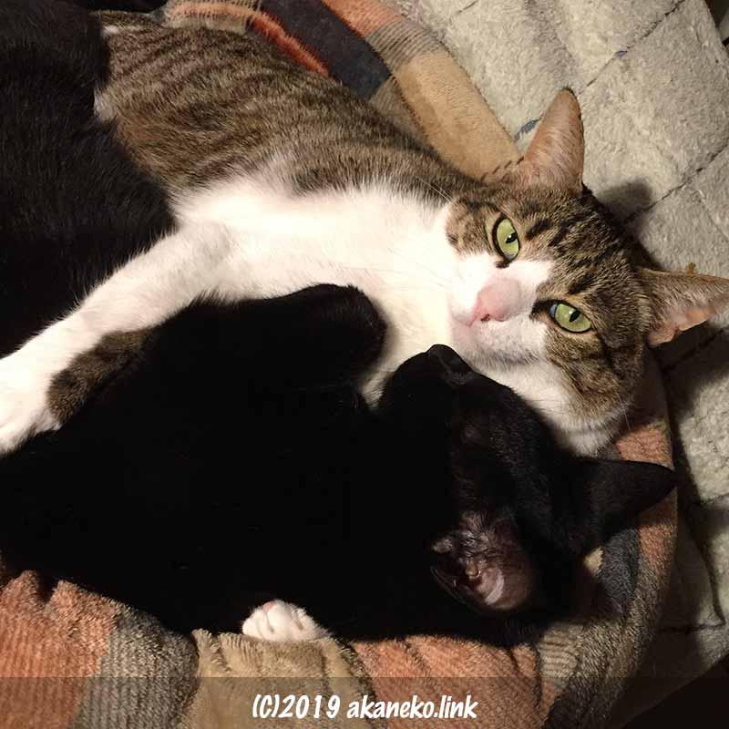 黒猫を両手で抱いて寝るキジ白猫