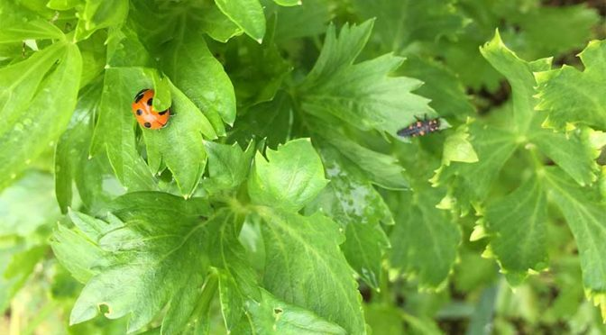 セロリの葉の上のテントウムシの成虫と幼虫