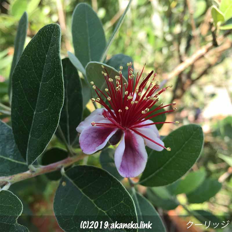フェイジョア(クーリッジ)の花