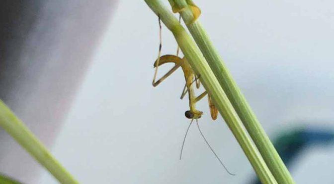 (閲覧注意!)ハラビロカマキリの孵化