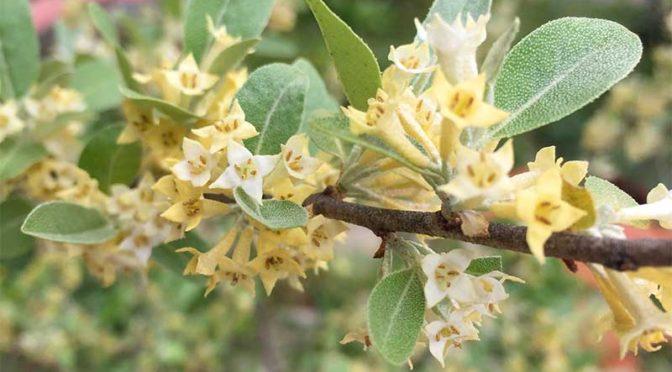 ロシアンオリーブ(ホソバグミ、ヤナギバグミ)の花