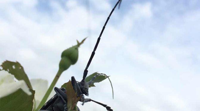 ゴマダラカミキリ:星空を背負う昆虫はダースベーダー似なのである