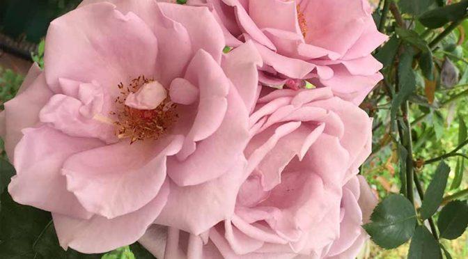 完全に開いた房咲きのつるブルームーン
