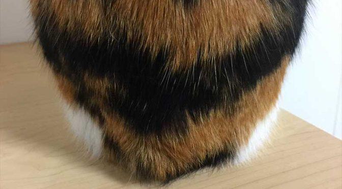 座っている尻尾がない三毛猫のお尻
