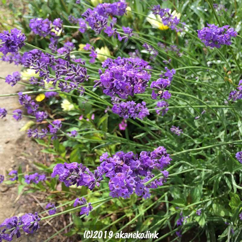 長崎ラベンダー(リトルマミー)の春の花