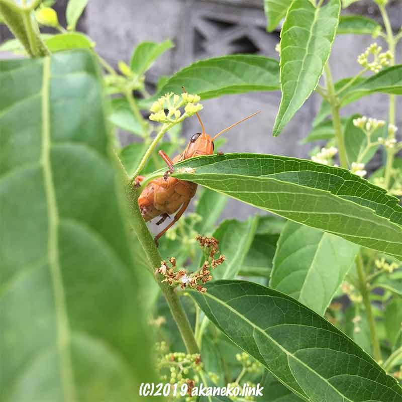 葉っぱ越しにこちらを見るオレンジ色のツチイナゴ
