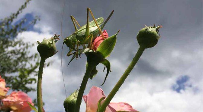 空を背景にしたバラの蕾の上のヤブキリのメス