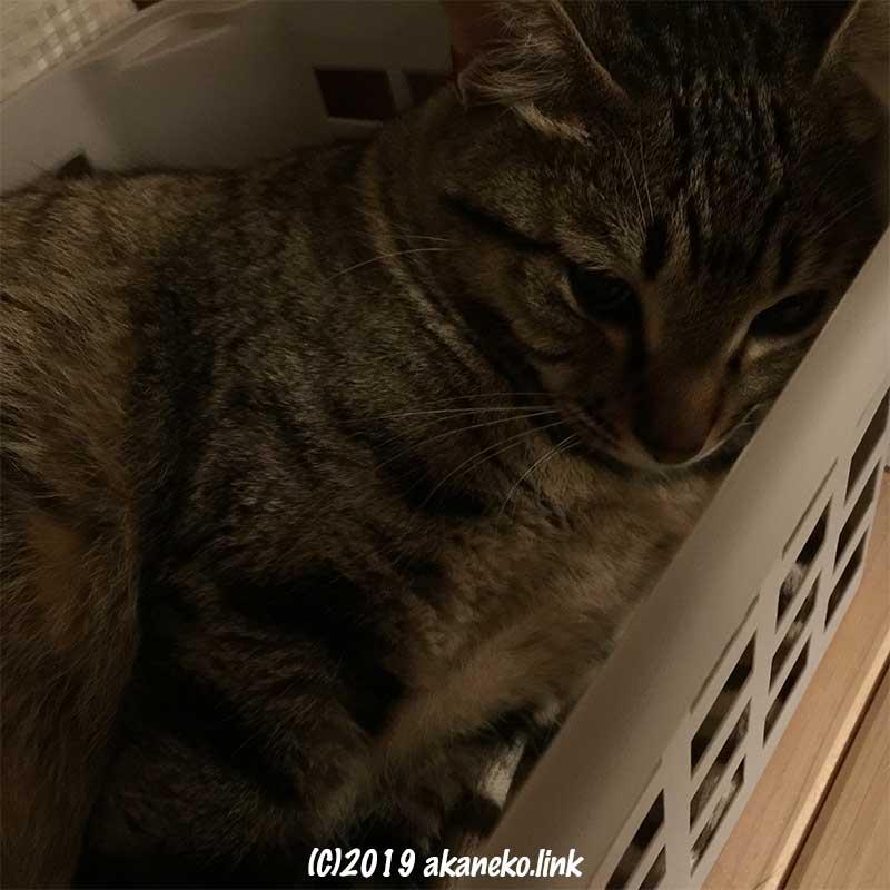 ダイソーの積み重ねできるバスケットの中のキジ猫