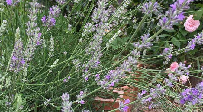 lavender:スーパーセビリアンブルー、春の勢い