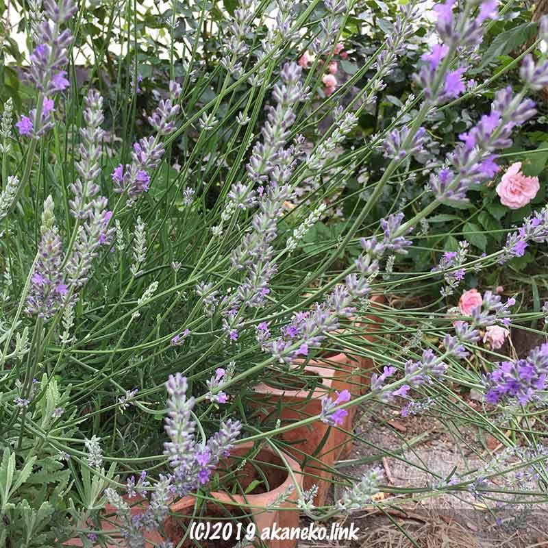ラベンダー(スーパーセビリアンブルー)の花