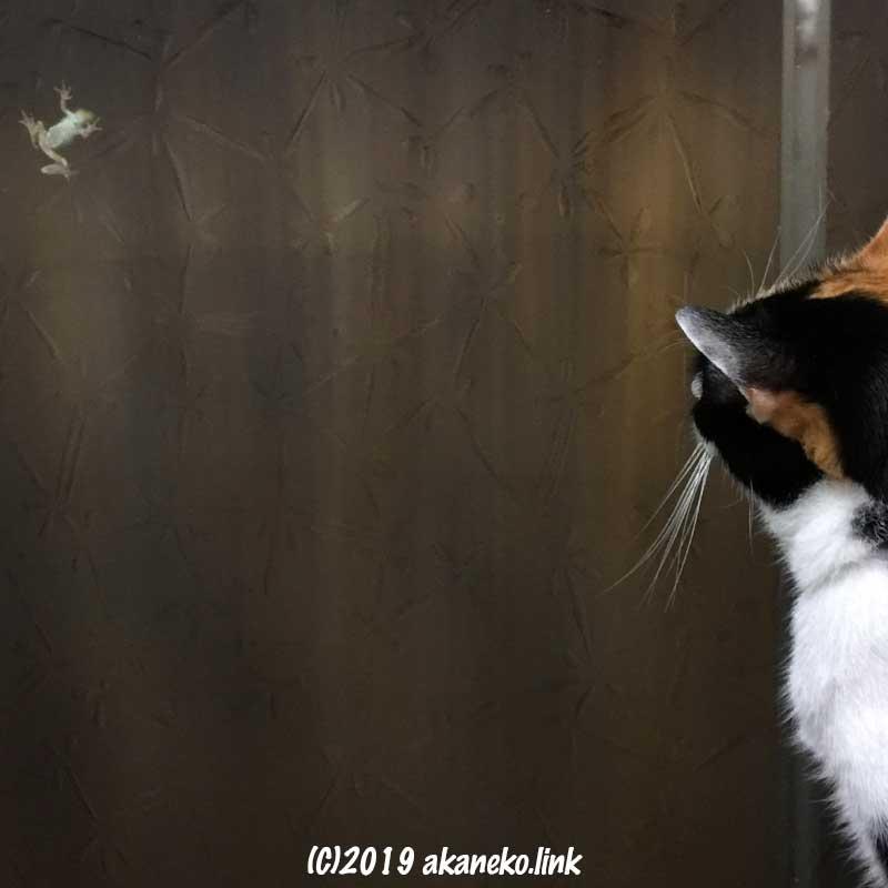 すりガラスの向こう側に張り付いたカエルを見つめる三毛猫