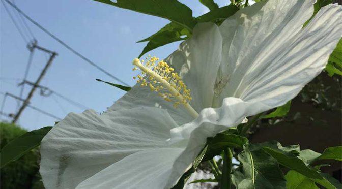 まるでパラボラアンテナ?タイタンビカス(エルフ)の花
