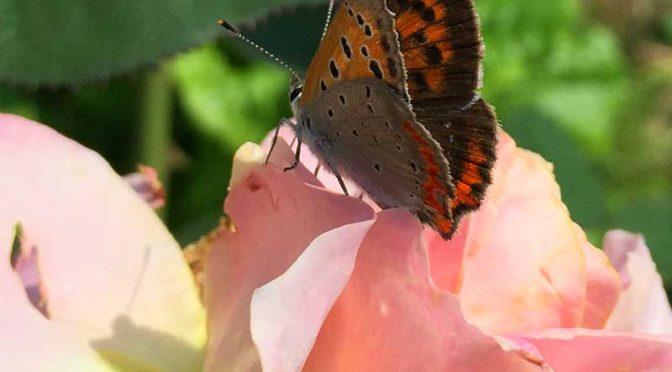 アカネコの庭に蝶来たる