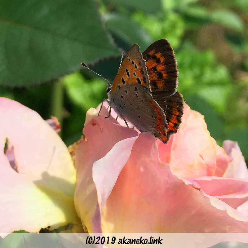 バラ:エルの花びらにとまっているベニシジミ蝶
