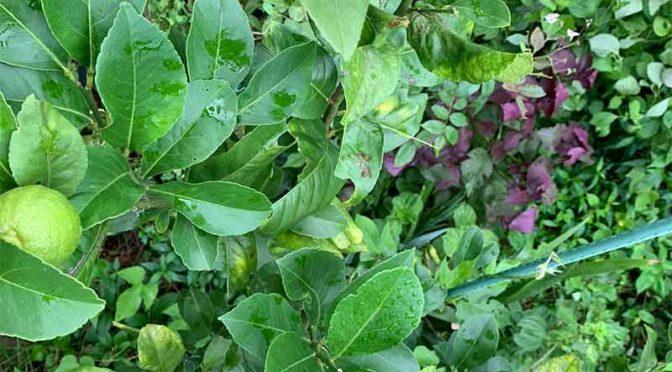 レモンと緑色の芋虫(ナミアゲハとナガサキアゲハ)