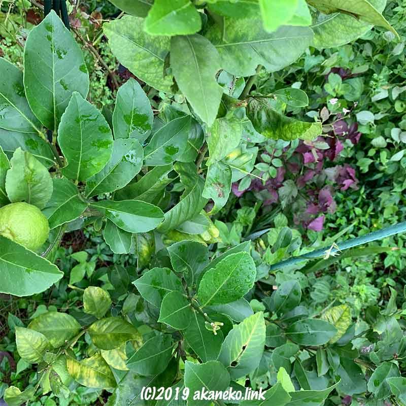 雑草の中で育つレモン(トゲナシリスボン)