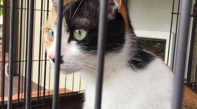 ケージの中から外を見つめる三毛猫