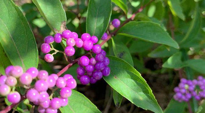 白式部と紫式部:我が家のコムラサキ疑惑