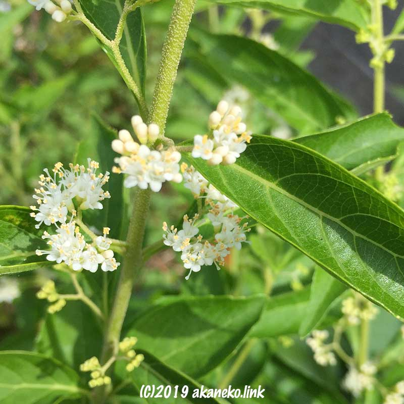 白式部の小さな白い花たち