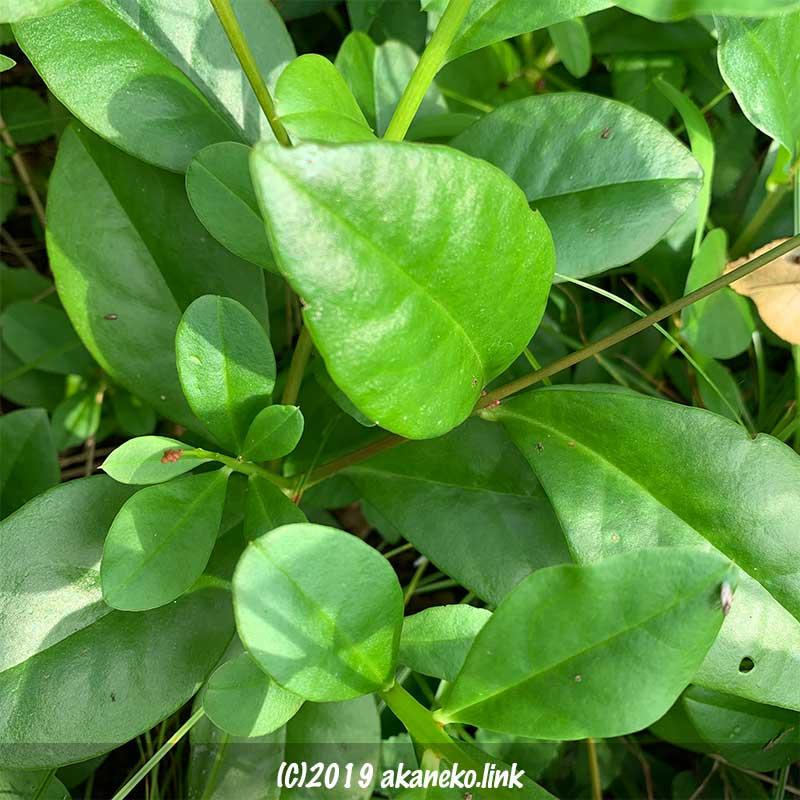 ハゼラン(爆蘭)の葉っぱ
