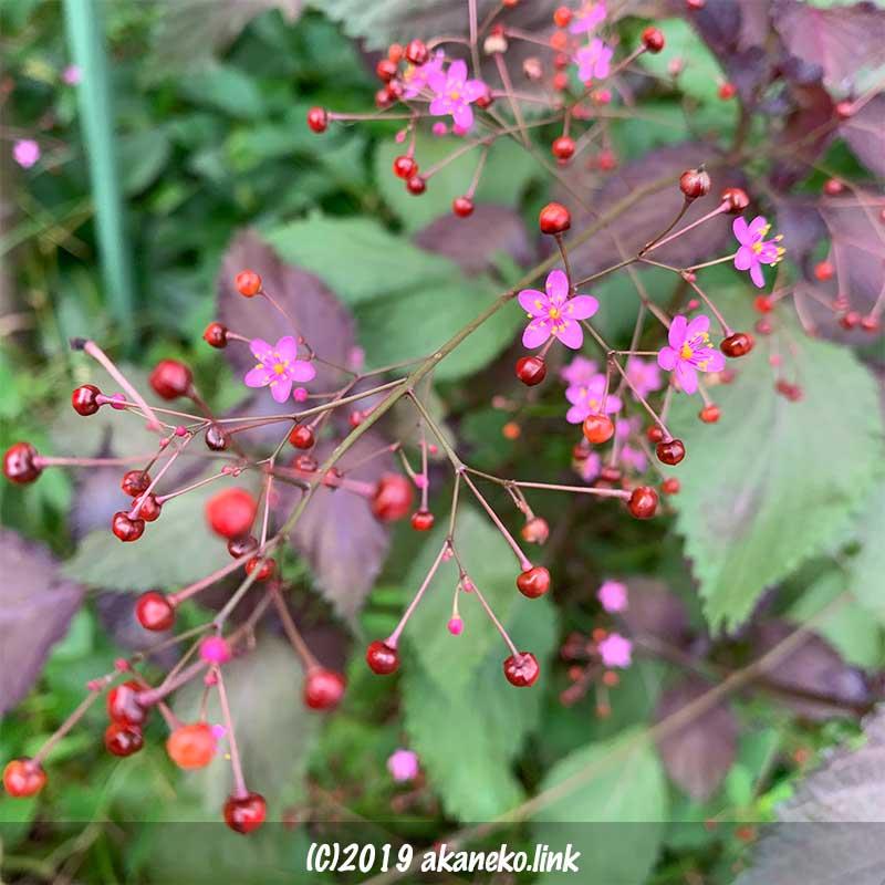 ハゼラン(爆蘭)の火花のような花