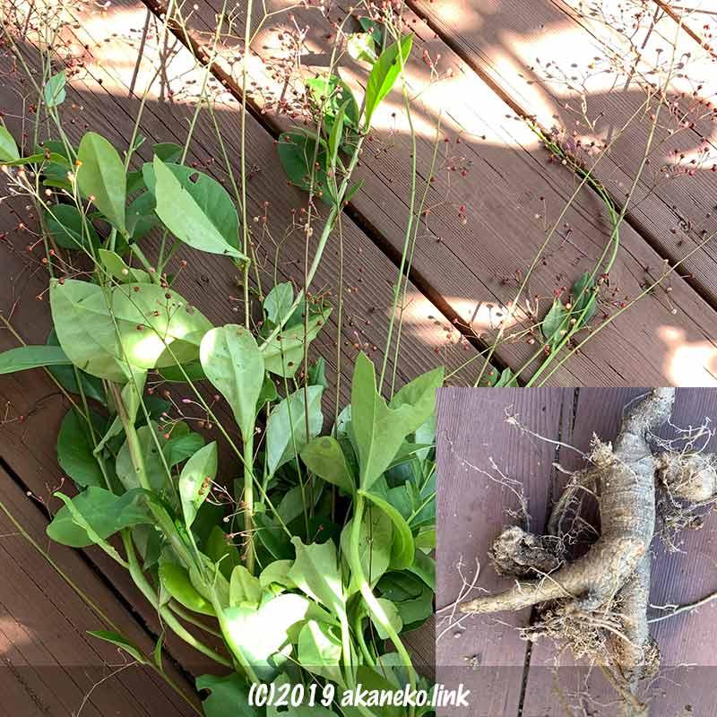 収穫したハゼランとその根っこ