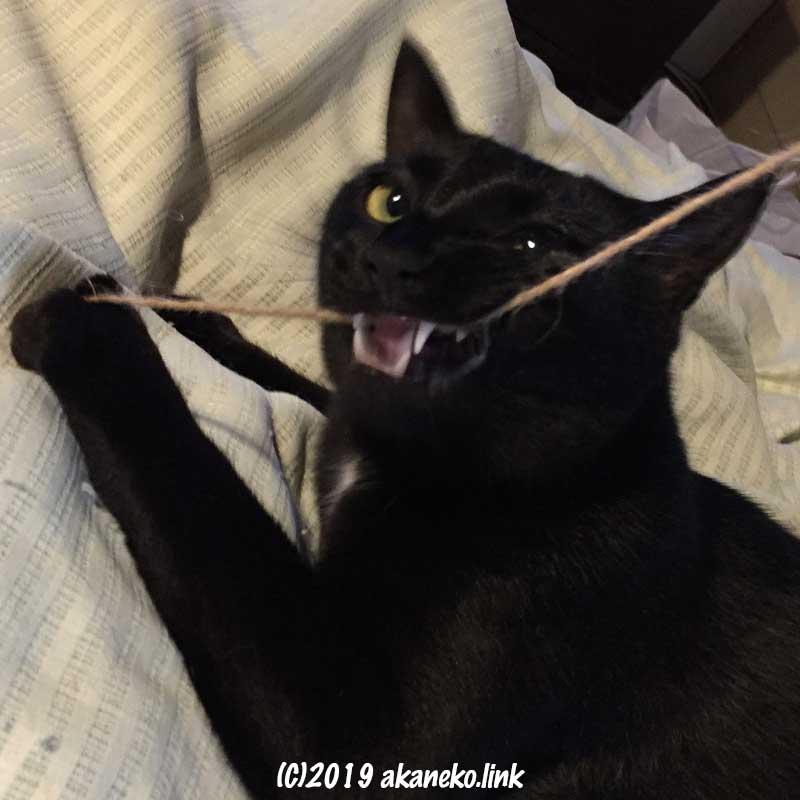 牙をむき出してヒモにじゃれつく黒猫