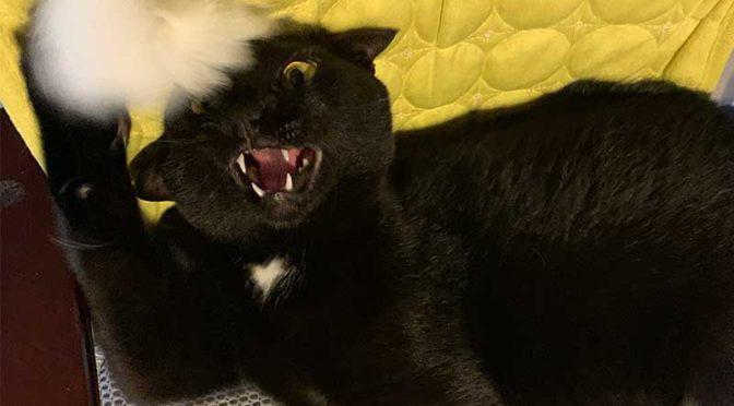 我が家の黒豹、黒猫クロエ
