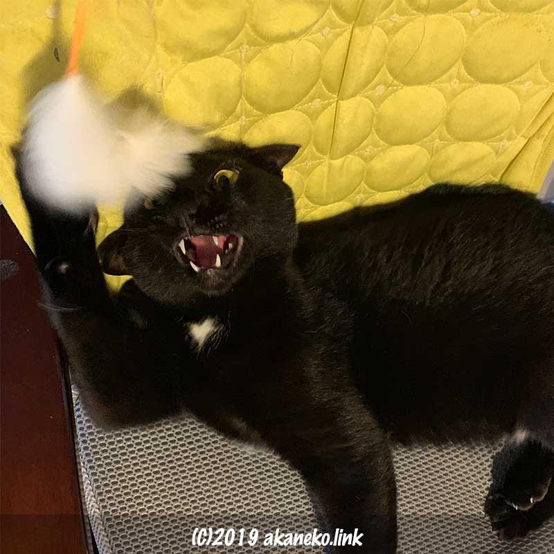 猫じゃらしに牙を剝く黒猫