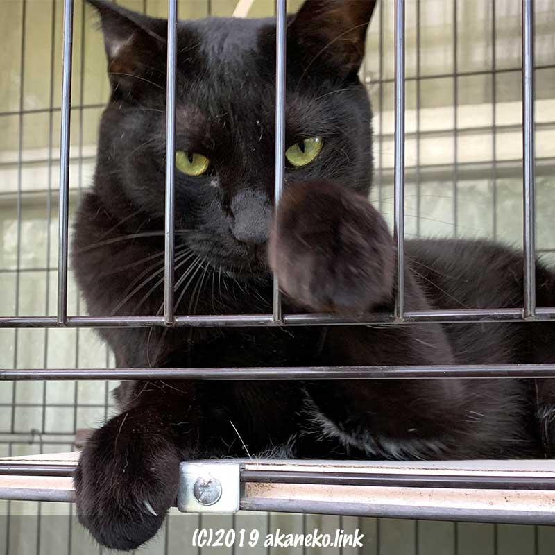 ケージの隙間から何かを狙って手を出そうとしている黒猫