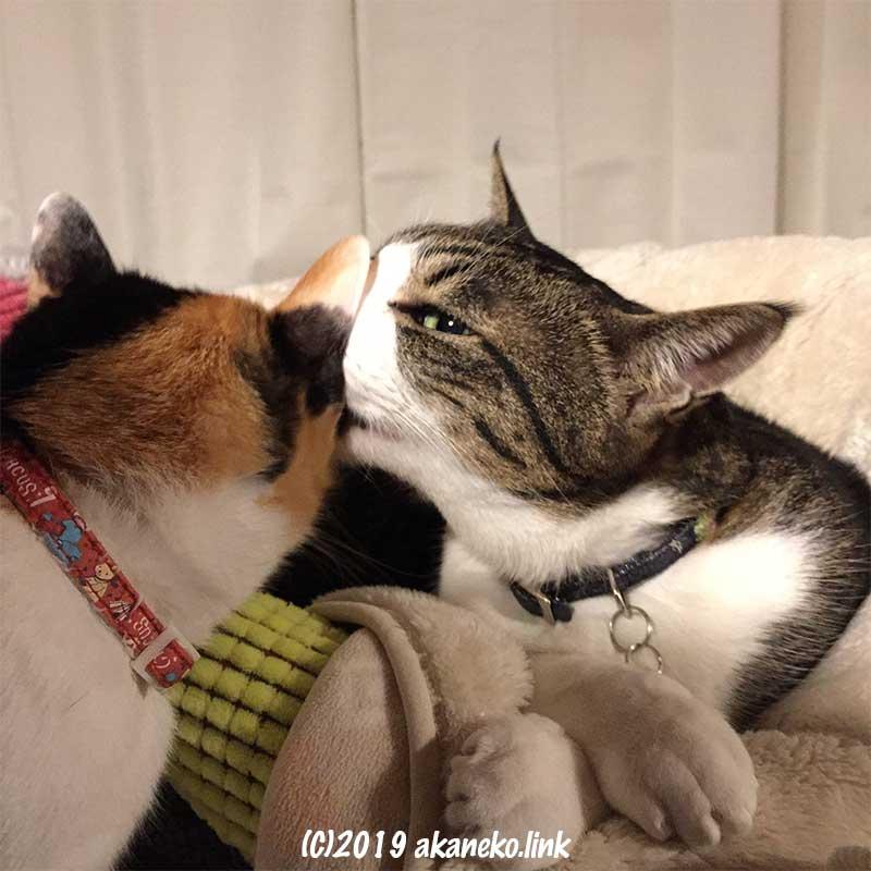 三毛猫の耳の中を舐めるキジ猫