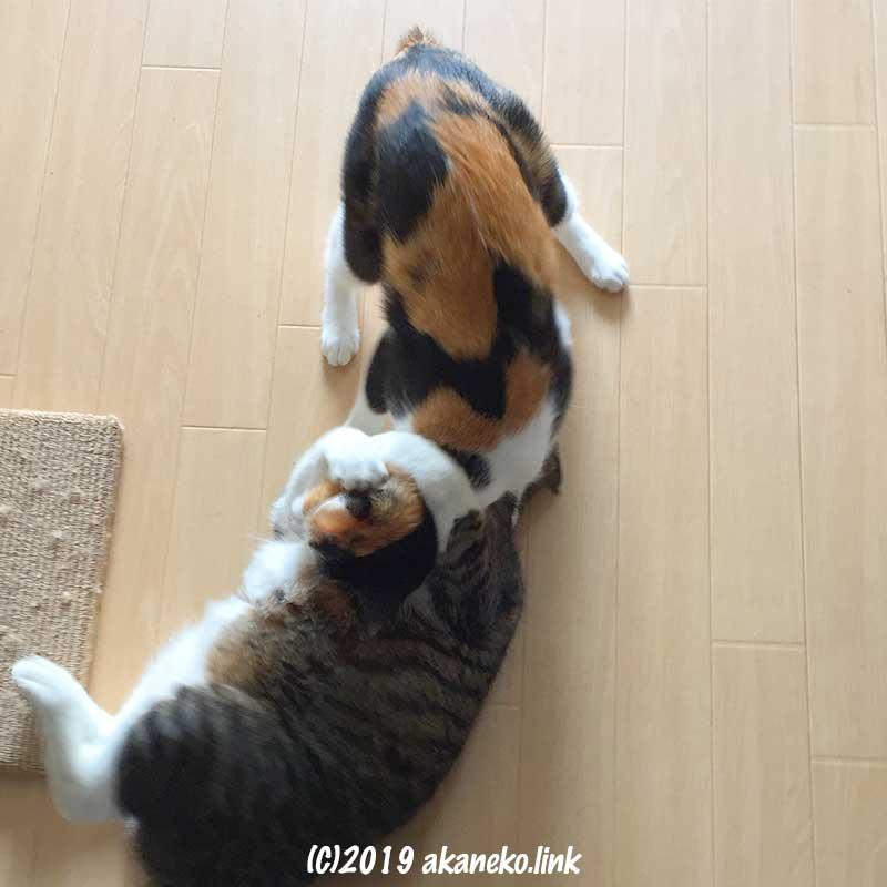 じゃれあいレスリング中の2匹の猫
